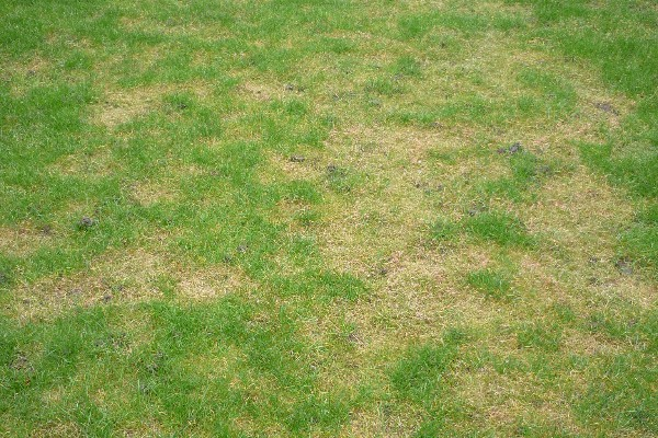 Grassroots Lawn Diseases 001